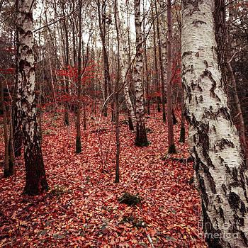 Birchforest In Fall by Hannes Cmarits