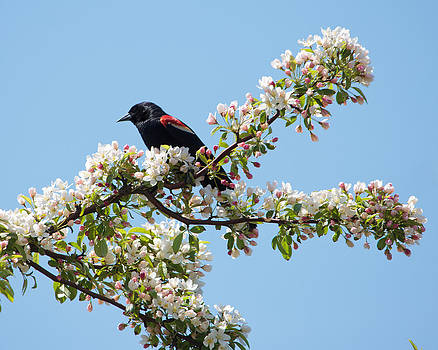 Red-winged Blackbird by Jose Oquendo