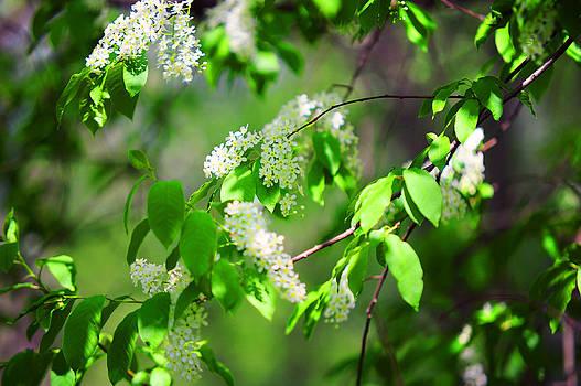 Jenny Rainbow - Bird-Cherry Tree at Spring Blooming