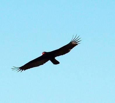 Bird in Flight by Van Ness