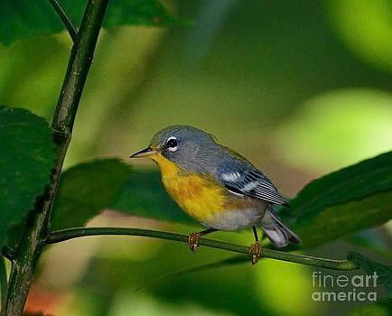 Wayne Nielsen - Bird Little Yellow Breasted