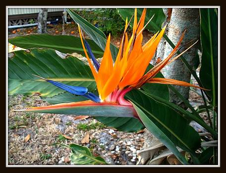 Bird Of Paradise by Bruce Kessler