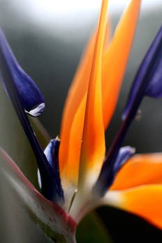 Ramabhadran Thirupattur - Bird of Paradise - Crane Flower