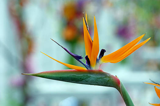 Bird of paradise flower by Borislav Marinic