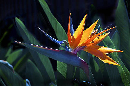 Bird of paradise Flower by Odille Esmonde-Morgan