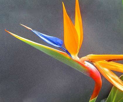Bird of Paradise by Janet McGrath