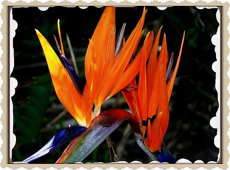 Bird of Paradise by Kevin Perandis