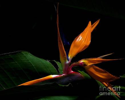 Bird of Paradise Leaflet by Imani  Morales