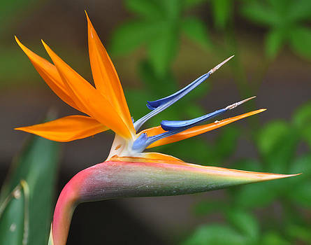 Bird of Paradise by Old Pueblo Photography