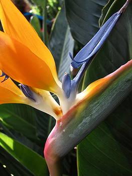 Sandy Tolman - Bird of Pardise