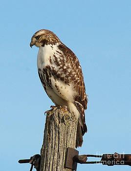 Andrea Kollo - Bird of Prey on the Hunt