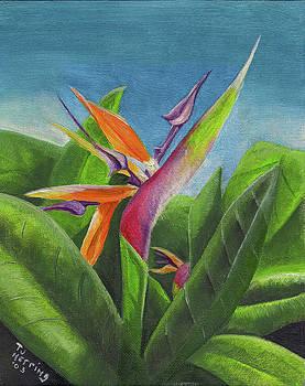 Hawaiian Bird of Paradise by Thomas J Herring