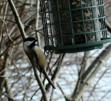 Bird on a Feeder 1 by Stephen Melcher