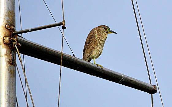 Bird on the Mast by AJ  Schibig