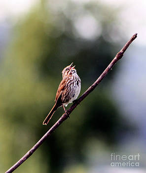 Nick Gustafson - Bird Song
