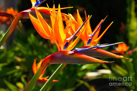 Birds of Paradise by David Doucot