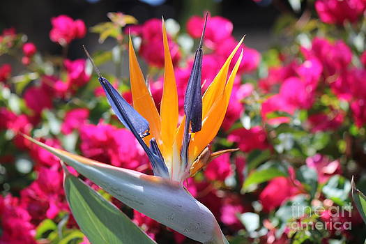 Birds of Paradise by DJ Laughlin