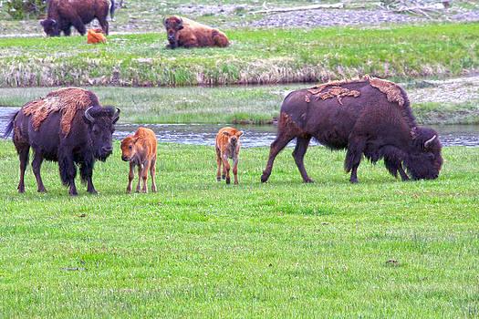 Bison babies by Kevin Snider