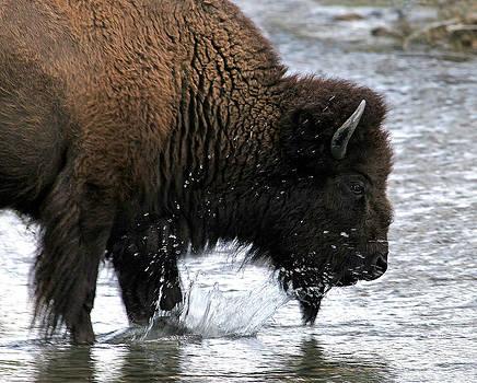 Bison crossing Teton Creek by Patrick Derickson