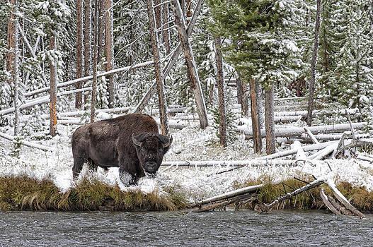 Paul W Sharpe Aka Wizard of Wonders - Bison Feeding by the River