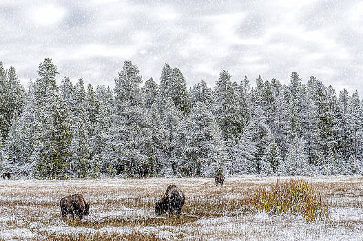 Bison Feeding in the Snow by Paul W Sharpe Aka Wizard of Wonders