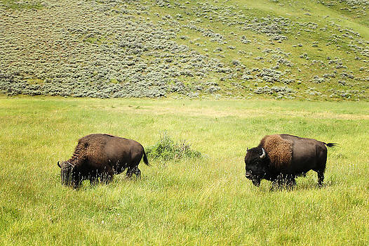 Bison Grazing in Lamar Valley by Jeffcoat Art