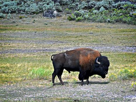 Marty Koch - Bison In Lamar Valley