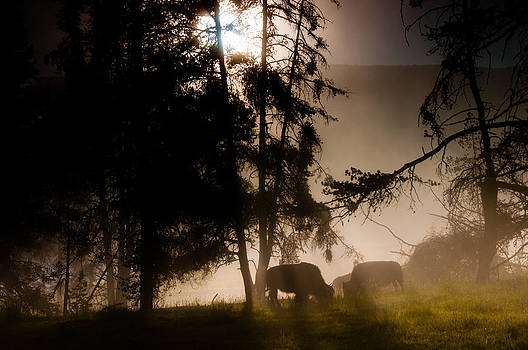 Bison in the Mist by Tom Wenger