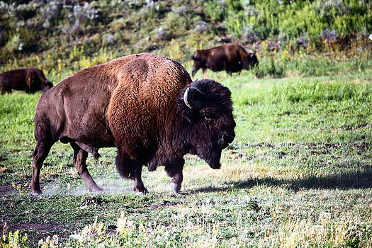 Sophie Vigneault - Bison in Yellowstone