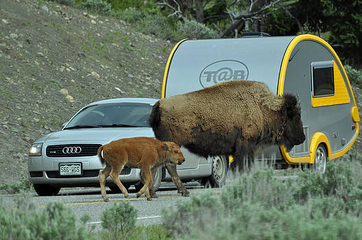 Bison Mom and Calf and Teardrop Camper by Bruce Gourley