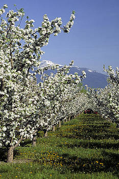 Bitterroot Apple Blossoms by Jim Cotton