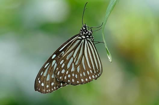 Black and Blue Butterfly by Jeremy Voisey