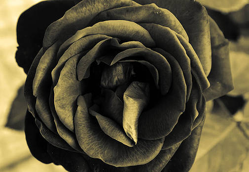 Black and whire rose. by Slavica Koceva