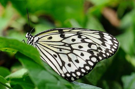 Black and White Butterfly by Jeremy Voisey