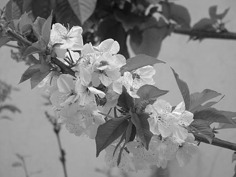 Black and White Cherry Blossoms by Angela Zafiris