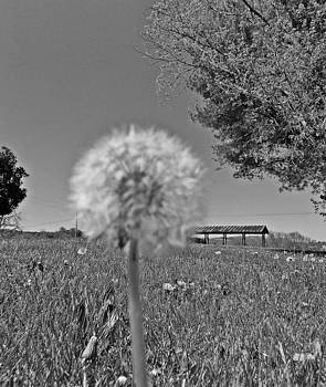 Black and White Dandelion by Regina McLeroy