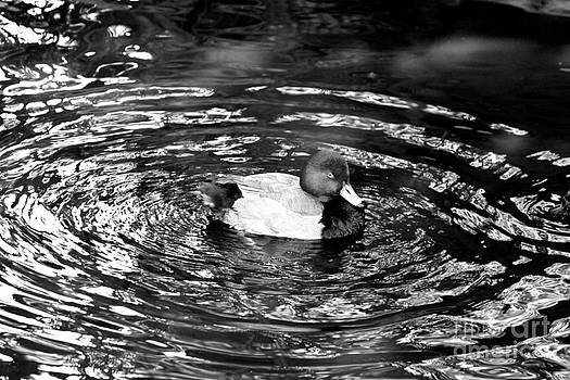 Black and White Duck by Jay Nodianos