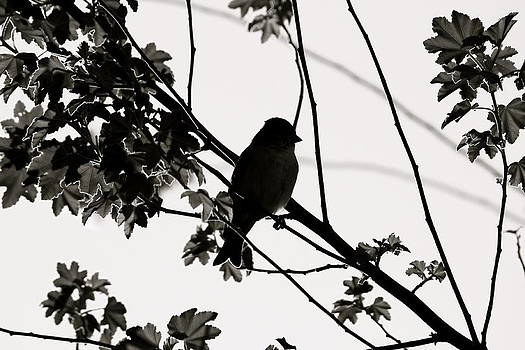 Black and White Finch by Diana Hatcher