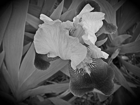 Black and White Iris by Regina McLeroy