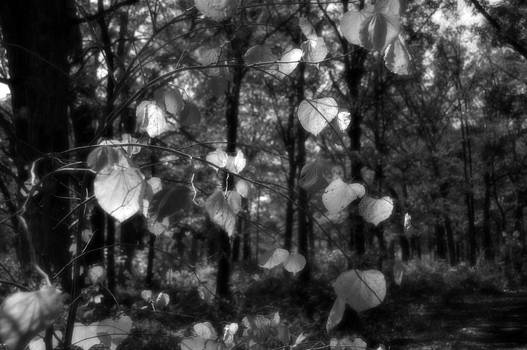 Black and White Leaves by Sheryl Thomas