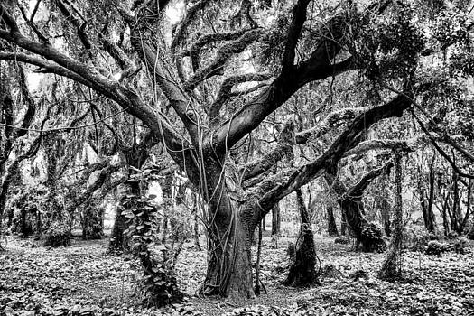 Black and White Maui Tree by Robert  Aycock