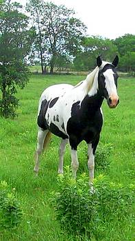 Cindy New - Black and White Paint Horse