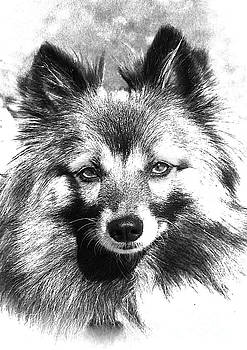 Black and White Pomeranian by Michelle Orai