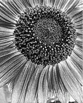 Black And White Portrait Of A Sunflower by Miss Dawn