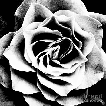 Black and White Rose by Malcolm Suttle