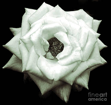 Black and White Rose by Michael Cross