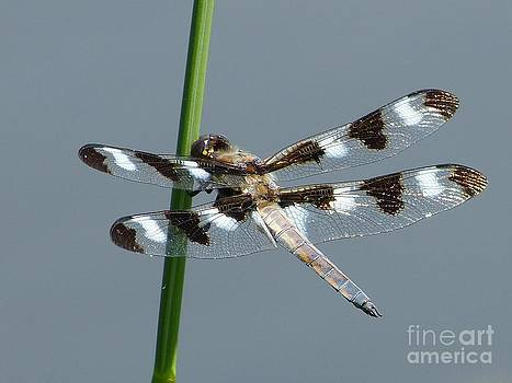 Christine Stack - Black and White Twelve Spotted Skimmer Dragonfly