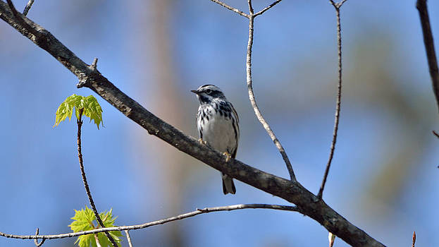 Black-And-White Warbler  by David Porteus