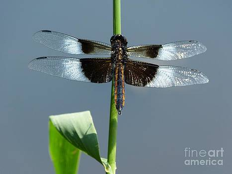 Christine Stack - Black and White Widow Skimmer Dragonfly