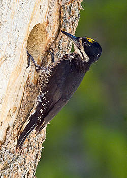 Black-backed Woodpeckeer by Doug Herr